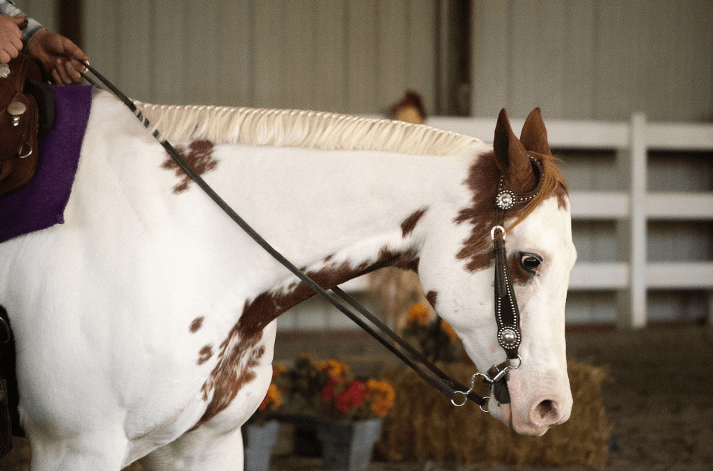 Paint quarter horse during trail at the MI Equestrian State Championships
