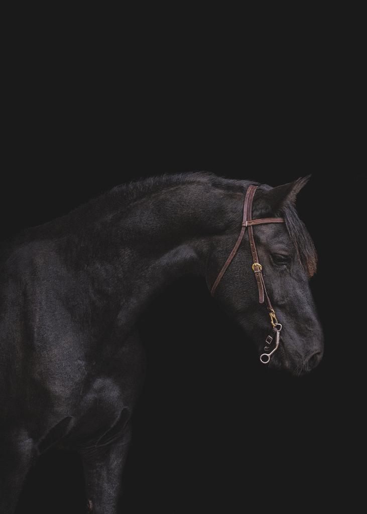 Friesian Gelding photographed by Saddleback Photo